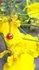 黄色とロードクロサイト.jpg