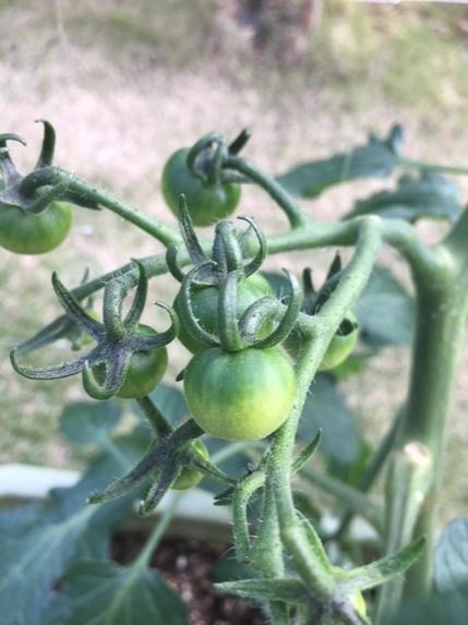 めぐのトマト1.JPG