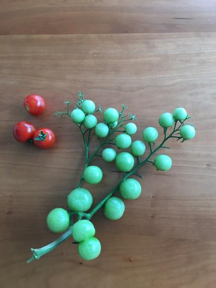 トマトが折れちゃった.JPG