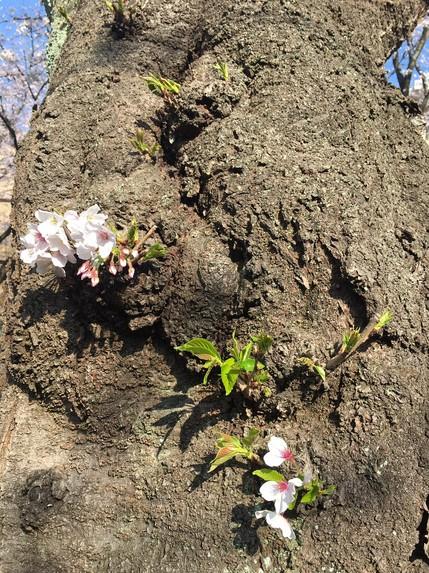 桜の木の花.JPG